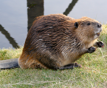 beaver removal and trapping
