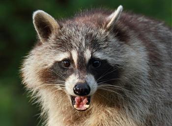 raccoon removal from attic richmond va