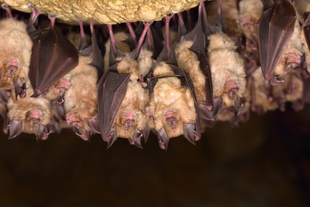 richmond bat removal services