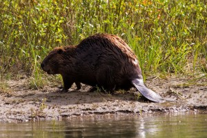richmond beaver removal services