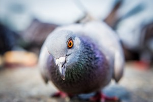 richmond bird removal services - pigeon removal