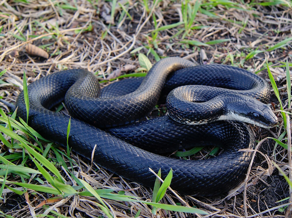 richmond snake removal services - black rat snake