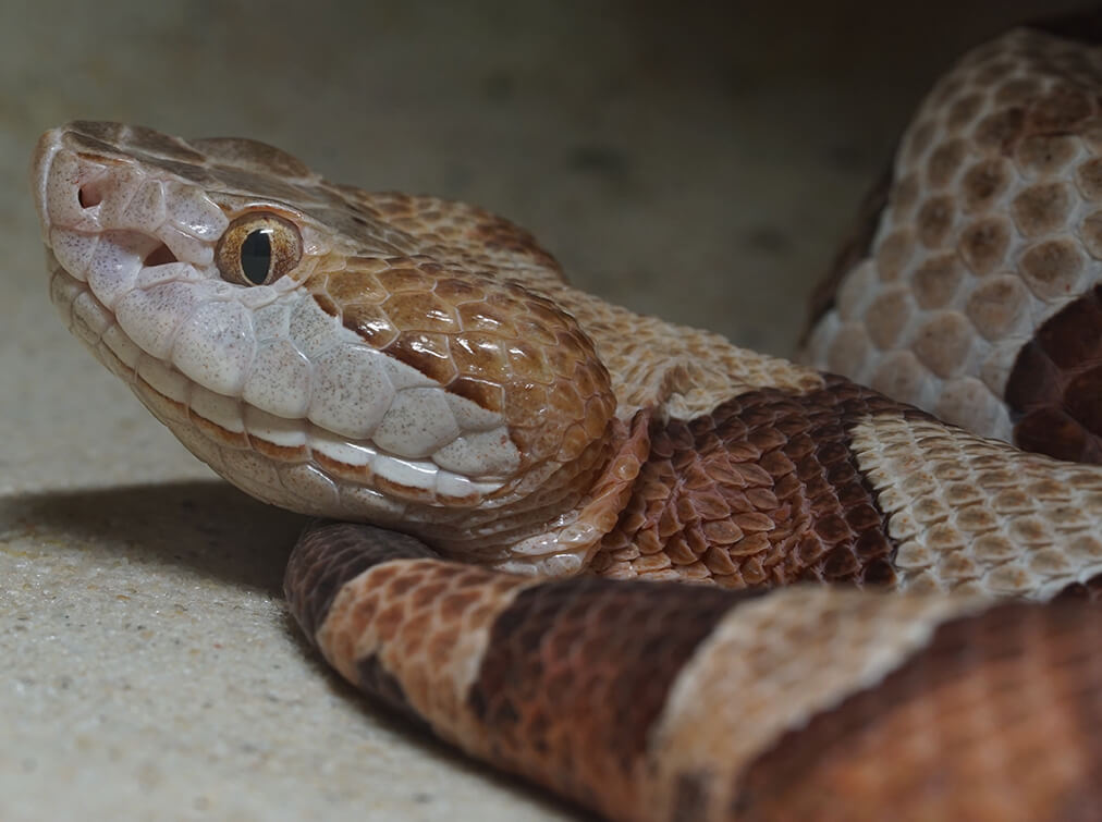 richmond snake removal services - copperhead