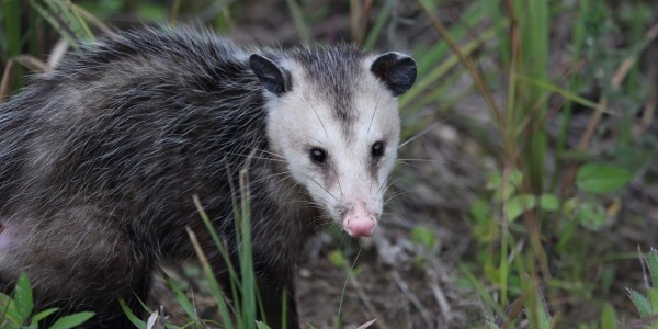 opossum removal richmond va