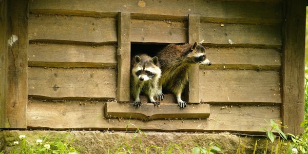 richmond raccoon removal services