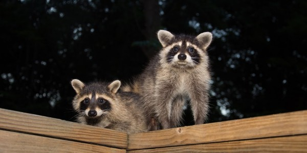 raccoons in attic richmond va