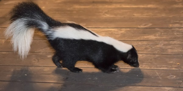 Richmond VA Skunk Removal