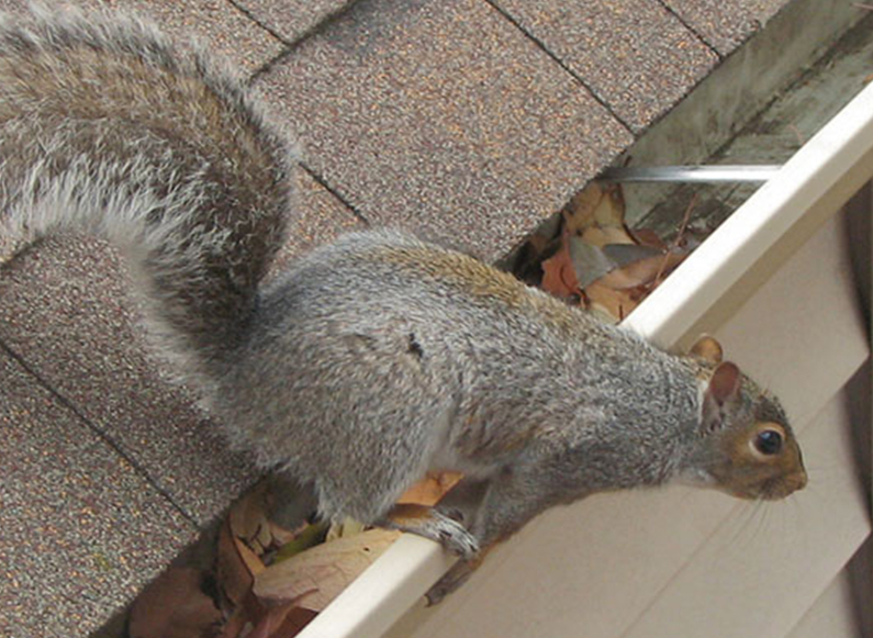 richmond squirrel removal services - richmond va