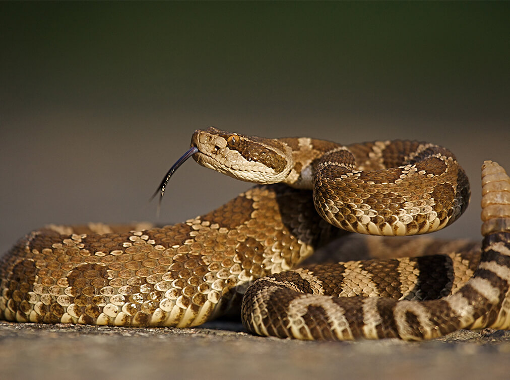 richmond snake removal - rattlesnake